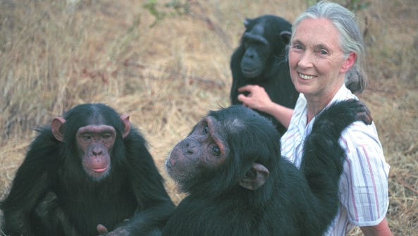 Jane Goodall's work with chimpanzees will be explored