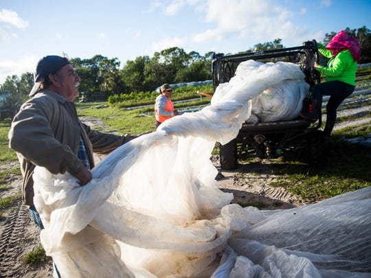 Rene Garza, left, pulls a large section of fabric to cover a section of tomatoes at Oakes Organic Farm in Naples on Wednesday, Jan. 3, 2017. Growers cover some of the crops when the weather is predicted to drop at night.
