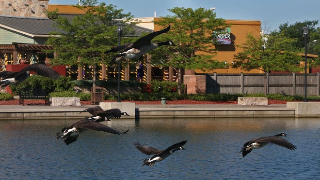 Geese come in for a landing at the Jordan Creek Mall lake Sunday, July 27, 2014.