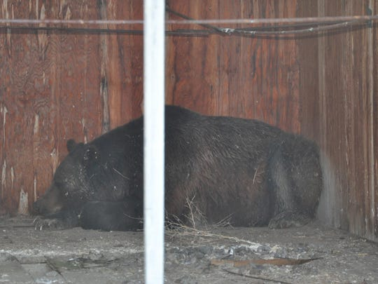 A grizzly bear sleeps in the back of an old farm building west of Conrad.