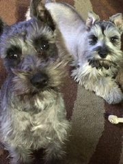 Al Unser Jr. said a pair of miniature Schnauzers, named