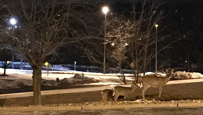 Deer roam through the parking lot at 1 Garret Mountain Plaza March 20. More deer have been seen in various towns in North Jersey, including Little Falls, where the township formed a Wildlife Committee to address the issue. Members of a neighborhood group in the township called the Great Notch Association are also asking Little Falls Township officials to address deer overpopulation.