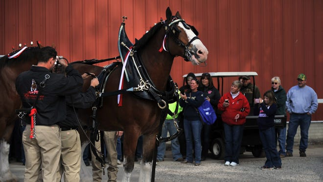 A crowd of onlookers takes photographs and records video Saturday as trainers put harnesses and other tack on the Budweiser Clydesdales at the Fairfield County Fair in Lancaster.