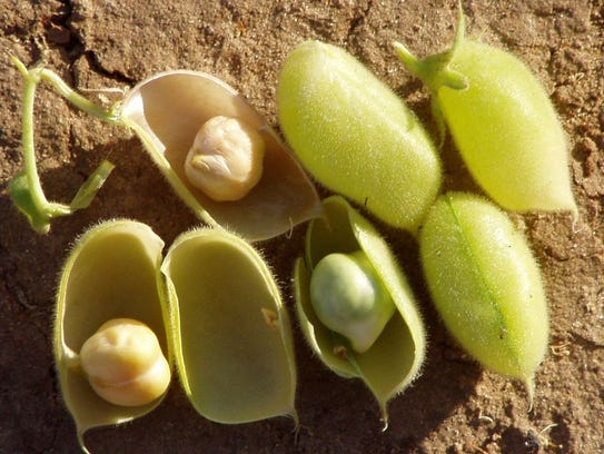 Fresh chickpeas - they grow two to a pod.