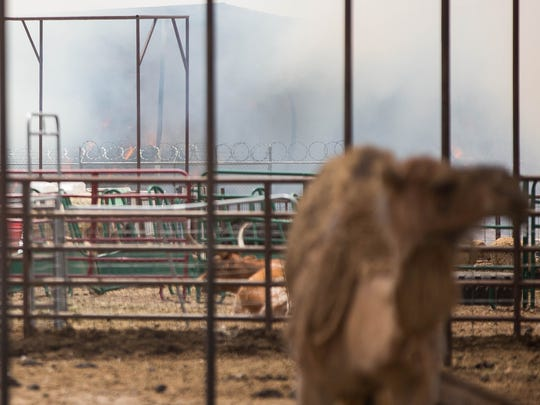 A fire engulfs 800 tons of hay in a shed on Tuesday, Aug. 21, 2018 to immediately adjacent to Landmark Mercantile. The hay and shed belong to a family member of the mercantile's owners. The camel pictured is one of a number of animals that live on the mercantile property.