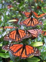 Thousands of Monarch butterflies nest in a oyamel tree