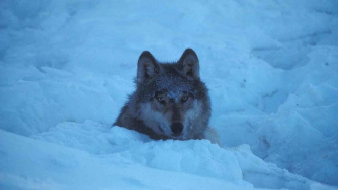 A wolf in Minnesota snow.