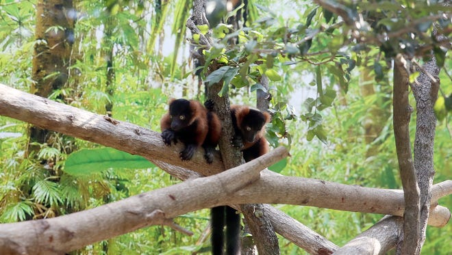 Critically endangered Red-Ruffed Lemur twins at the Naples Zoo on Thursday, June 16, 2016. The set of male twins were born on May 1. (Dorothy Edwards/Staff)