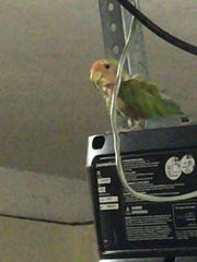 Do you know me? This lovebird was found in the River Reach Area, off of Airport-Pulling Road.