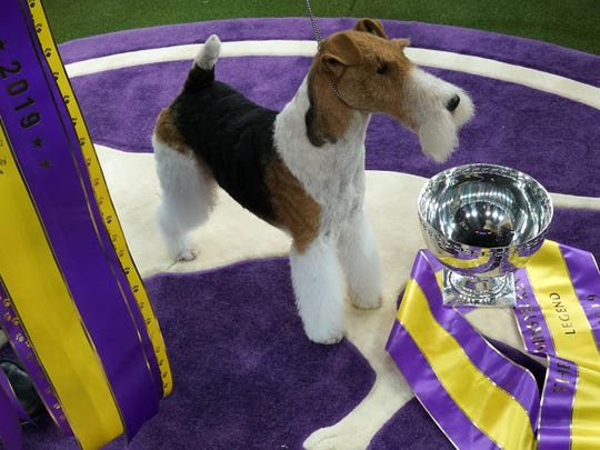 """King, the wire hair fox terrier, poses after winning """"Best in Show"""" at the Westminster Kennel Club 143rd Annual Dog Show in Madison Square Garden in New York on Feb. 12, 2019."""