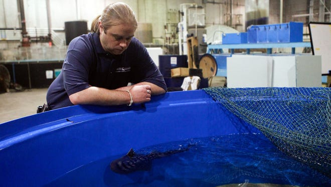 Scott Brehob, aquatic biologist for the Newport Aquarium, watches as a shark ray pup swims past him. Sweet Pea, the pup's mother, gave birth to nine pups, eight of which survived. She is the first documented shark ray to breed in captivity.