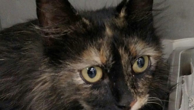 This 1-year-old female black and gold tortie cat was left in Animal Control's outside lockup. For more information about adopting a Pet of the Week or other furry friends visit Alamogordo Animal Control, 2910 N. Florida Ave., Monday through Saturday between noon and 5 p.m. or contact them at 439-4330.
