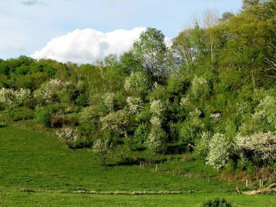 The barren trees of a month ago now were decorate with a white bonnet of blossoms.