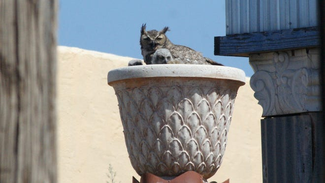 A Great Horned Owl with two chicks peers out from a nest near the village center of Columbus, NM on Wednesday morning, May 23. Diana Skinner of the Los Milagros Hotel said she has counted four chicks. The owls are plainly visible from the hotel's rear courtyard.