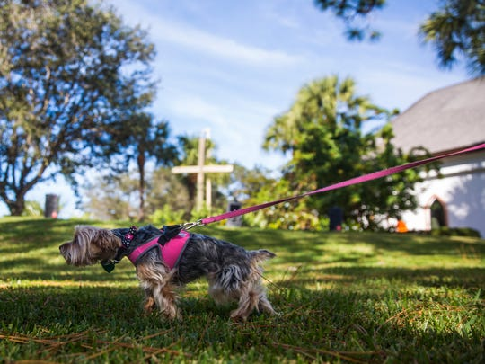 Penelope Sue, a two and a half year old Yorkshire terrier, tugs at her leash during a special St. Francis Blessing of the Animals service on Saturday, November 26, 2016 at St. PaulÕs Episcopal Church in East Naples. The church invited the community to bring pets of all types for a special blessing in observance of St. Francis Day. Penelope Sue was born in the same week that owner Lynne LaMarca's husband died and she is a certified emotional support dog.