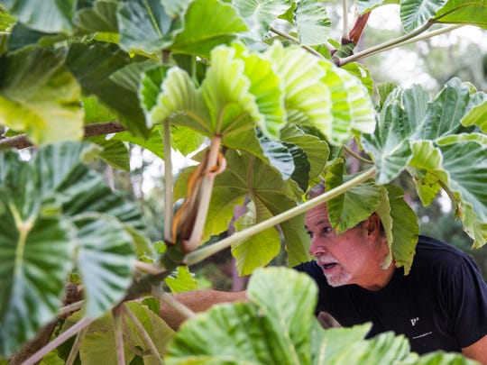"""Christopher Carnick names the different plants at his 3-acre retreat, Pirate Palms, on Friday, Jan. 13, 2017, in Golden Gate Estates. The """"edible landscape"""" of Pirate Palms helps teach guests about healthy eating and exercise."""