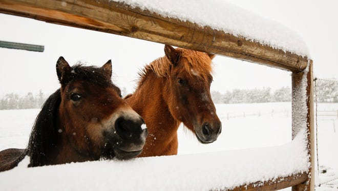 Two ponies peer out from their pasture as snow continues to fall in Cremona, Alberta, Canada, Tuesday, Sept. 9, 2014. Environment Canada issued a snowfall warning for Calgary, and much of the rest of Southwestern Alberta. (AP Photo/The Canadian Press, Jeff McIntosh)