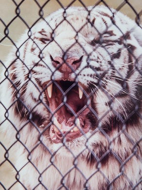 1994: Romulus, a white tiger, at Six Flags Great Adventure