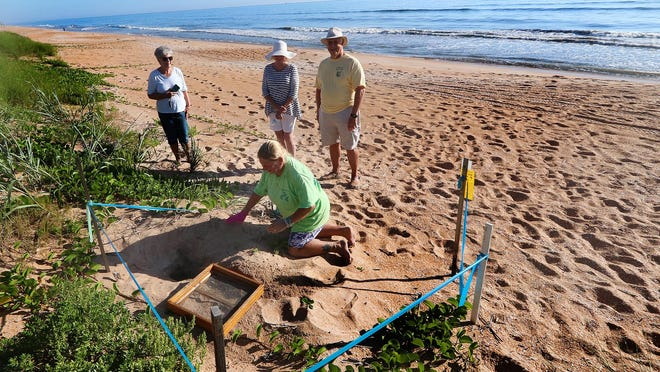 In this 2018 file photo, members of the Turtle Patrol dig up a turtle nest near 19th Street in Flagler Beach. So far this season, Volusia County has recorded a total of 779 nests as of Monday, said Ryan Chabot, the county's sea turtle habitat conservation plan manager.