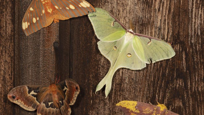 Clockwise, from lower left: tuliptree silkmoth, regal moth, Luna moth and imperial moth