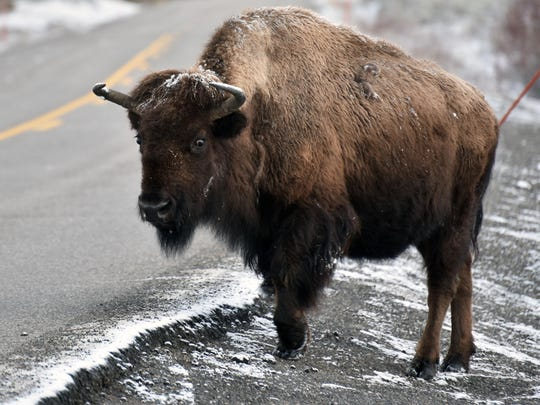 Fresh snow coats a bison in Yellowstone National Park in March 2017. Photo by Trevor Hughes, USA TODAY [Via MerlinFTP Drop]
