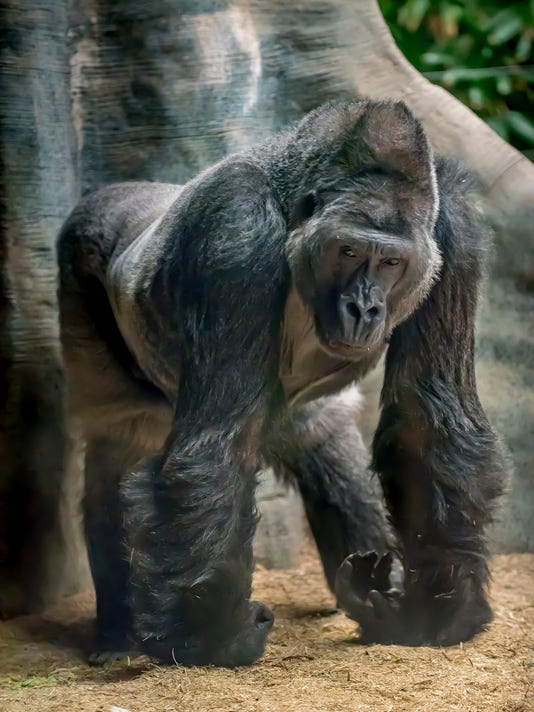 two milwaukee zoo gorillas died from gastrointestinal infections