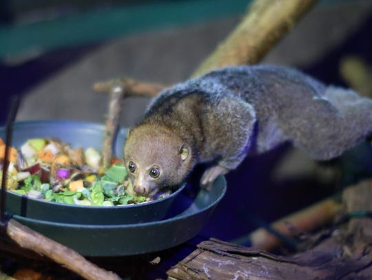 Otto is a baby potto born December 14, 2015, to parents