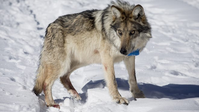 This Mexican gray wolf, released in January 2016 at Escudilla Mountain in eastern Arizona, is part of a reintroduced population.