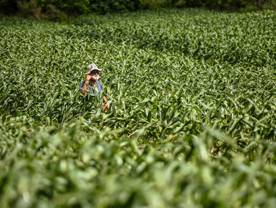 In this file photo, farmer Ernie Wusstig walks through a field of his super sweet corn crop in Dededo on March 10, 2017.