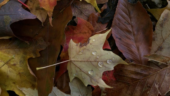 A maple leaf is spotted with water drops.