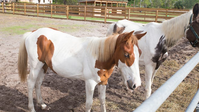 Frankie, in front, is a 1-year-old Paint colt and his mother Josie, in back, is a 17-year-old Paint mare. The Bowling for Horses fundraiser will benefit ERAF's rescued horses.