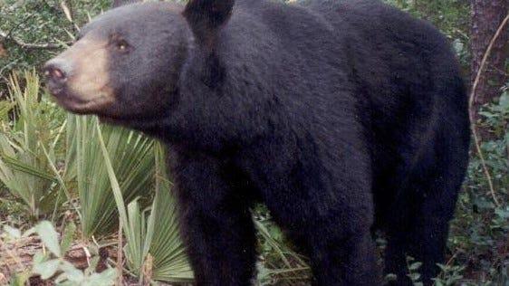 Florida black bear, Ocala National Forest.