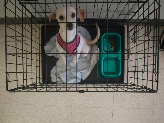 Tiny, a female Chi mix sits in a cage at Pat's Puppies