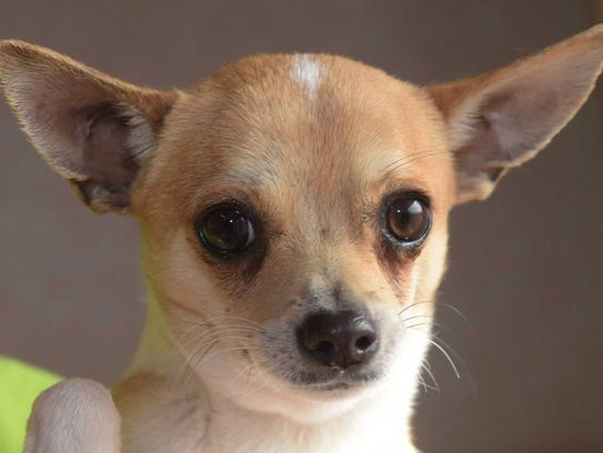 Apple: Male Chihuahua, about 4 months old. Intake date: 12/29/2017