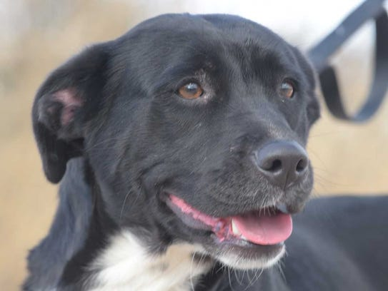 Honey - Female (spayed) lab mix, about 3 years old.