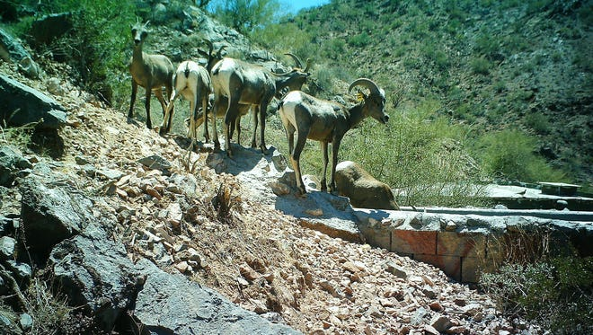 Desert bighorn sheep gather at the Waterman Mountain water catchment.