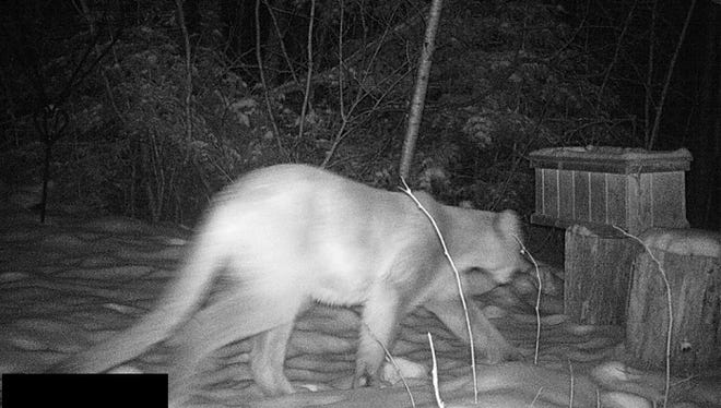 A cougar was confirmed on a trail camera photo in Douglas County on Nov. 11, 2017.