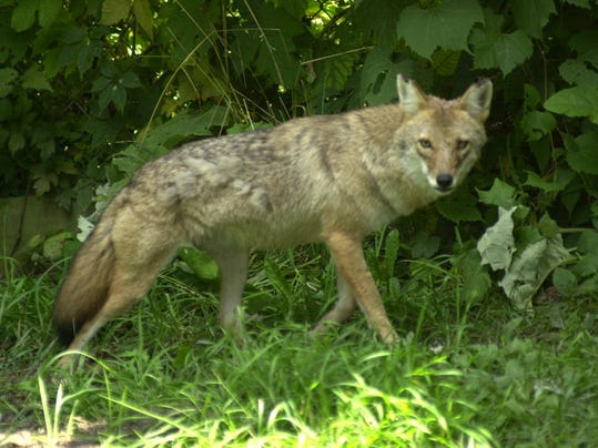 coyote attacks small dog in canton township. Black Bedroom Furniture Sets. Home Design Ideas