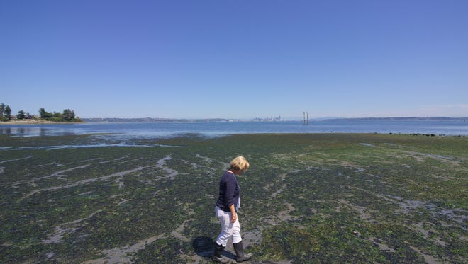 Helen Bottcher, EPA project manager for the Wyckoff Eagle Harbor Superfund site, walks through the intertidal area on Bill Point, looking for evidence of creosote pollution.