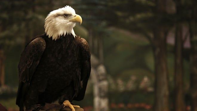 More than 30 bald eagles have taken up residence in Dogwood Canyon Park.