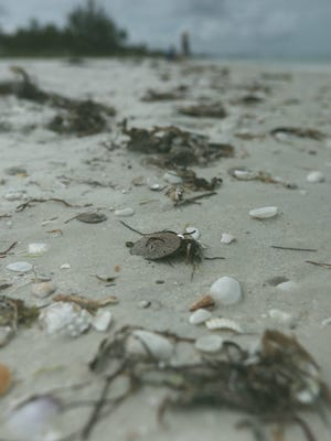 A sand dollar was among the debris on Bonita Beach the morning of Thursday, July 12. Tiny sand dollars are washing up on the shores of Bonita and Barefoot beaches.