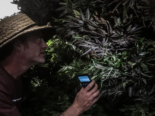 Patrick Kelly, a cannabis grand master grower, shines a light on cannabis curing in a dark room at a cannabis growing facility that he rents in Coachella on Tuesday, April 3, 2018. Kelly is the first grower to operate a state-licensed cannabis growing facility in Coachella.