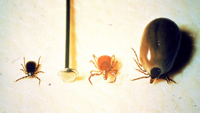 Three deer ticks are lined up next to the head of a pin, from left, an adult male, adult female and engorged adult female.