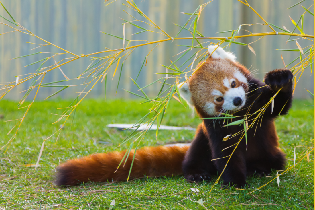 Image of: Ppt Red Panda Exhibit At Wnc Nature Center Will Get Nonprofit Funding Citizen Times Red Panda Exhibit Coming To Wnc Nature Center Gets Nonprofit Funding