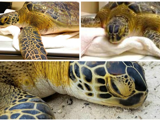 A green sea turtle found in distress off the coast