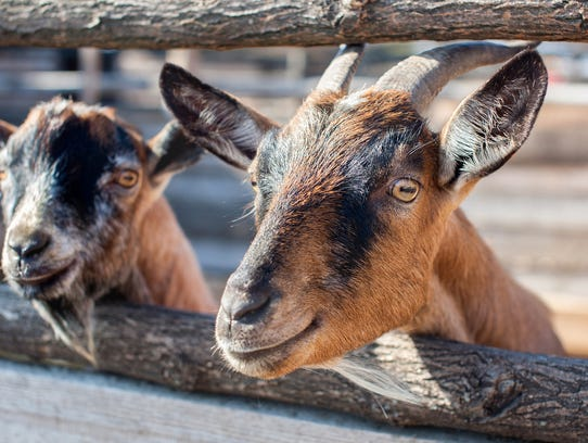 25. Goat farming