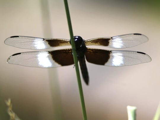 A dragonfly sits on the stem of a plant.