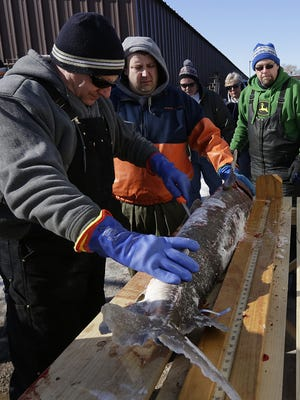 Wisconsin Department of Natural Resources staff examine a sturgeon at Wendt's on the Lake in February 2016 on Lake Winnebago. The sturgeon, caught by Jeff Simon (far right), of Fond du Lac, weighed 55.9 pounds and was 60.5 inches long.