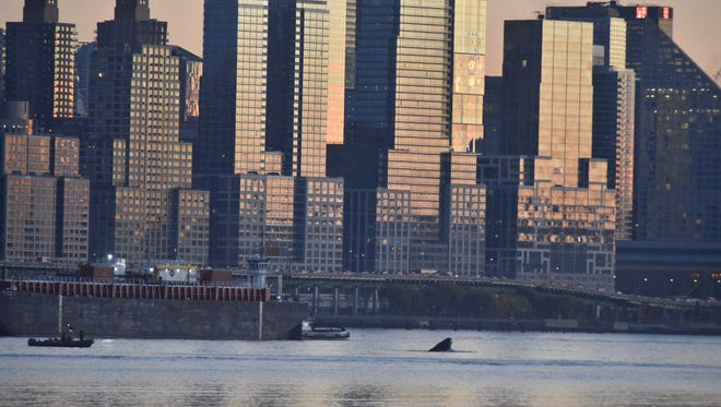A whale, nicknamed Gotham, breaching the Hudson River on Nov. 18 near Edgewater. For nearly a week in late November, Gotham was seen cavorting in the river just off the wharves of Manhattan.
