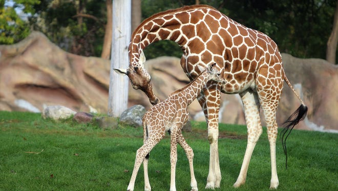 The Detroit Zoo welcomes a baby boy giraffe to their family. The giraffe is the baby of mom, Kivuli, 5, pictured, and dad, Jabari, 6. The baby was delivered on Tuesday night and is the first giraffe to be born at the zoo in 22 years. He is not named yet.